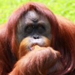 India's Only Orangutan, Dies in Nanda Kannan Zoo | UPSC – IAS